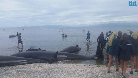 Nouvelle-Zélande : trois vagues d'échouage de centaines de baleines-pilotes