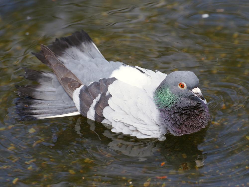 site de rencontre pigeon