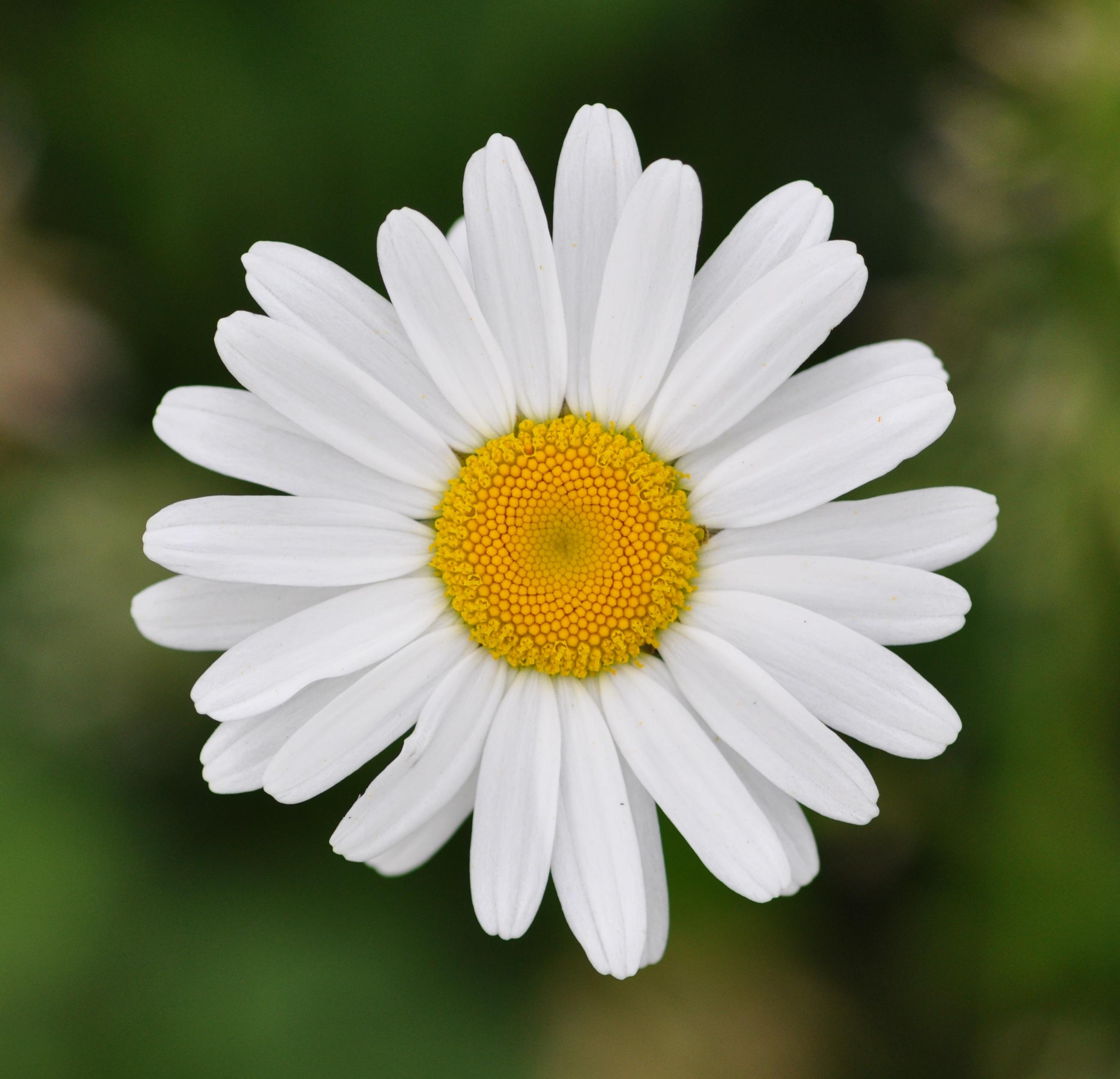 Si tu veux faire mon bonheur… Marguerite, Marguerite