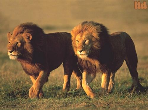 Le lion doit suivre la Nature