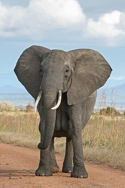 Le trafic d'ivoire en Afrique centrale