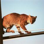 L'antispécisme et la suppression des prédateurs