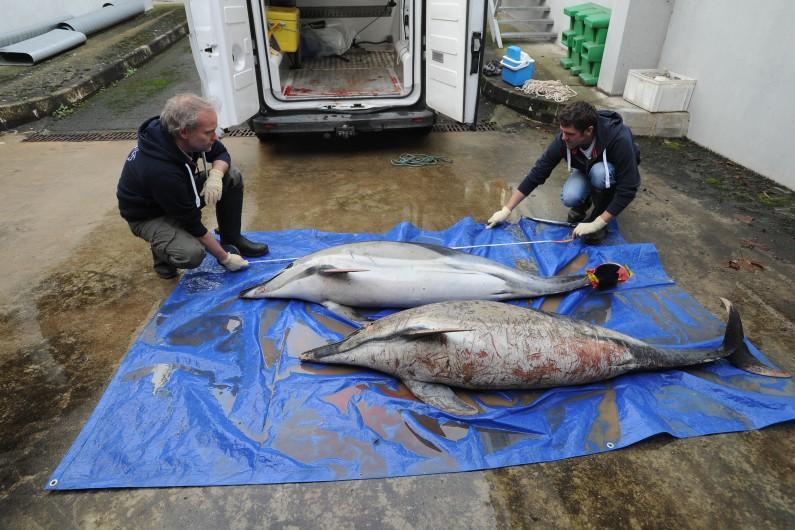 Le drame des dauphins échoués sur la côte atlantique.